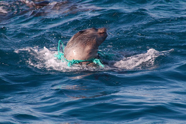 Seehund in Plastik - plastikfrei Leben - Leben ohne Plastik