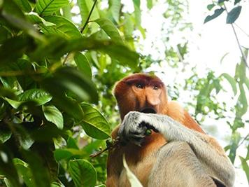 Borneo Affe - Leider ist auch Borneo nicht plastikfrei - plastikfrei Leben