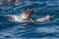 Seelöwe gefangen in Plastik - Plastikfrei leben - EcoYou - Zero Waste
