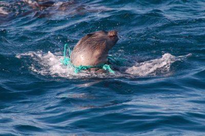 Seehund in Plastik - plastikfrei Leben ohne Plastik - Meerestiere leiden durch Plastikmüll EcoYou Blog